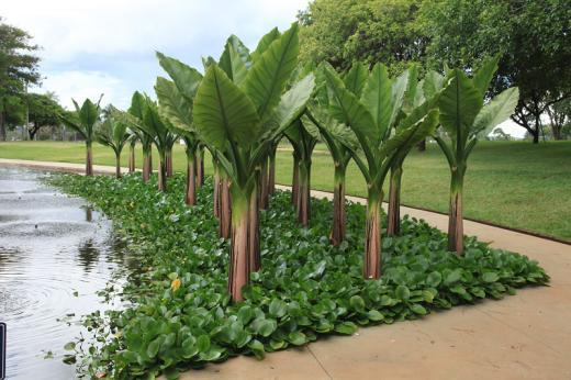 Plantas aquáticas para seus projetos de lagos ornamentais II